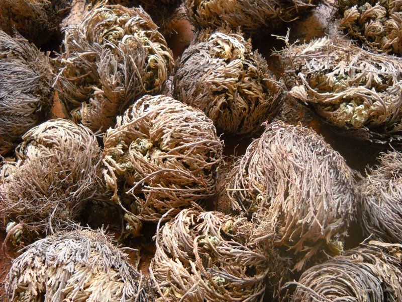 Dry Rose of Jericho Plants (selaginella lepidophylla)