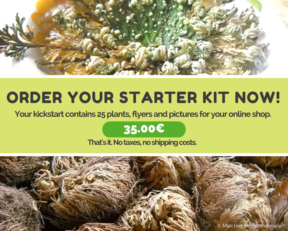 Rose of Jericho Bulk Starter Kit