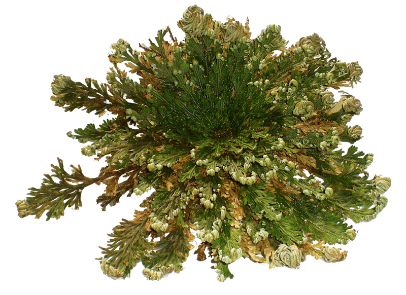Green Rose of Jericho Plant