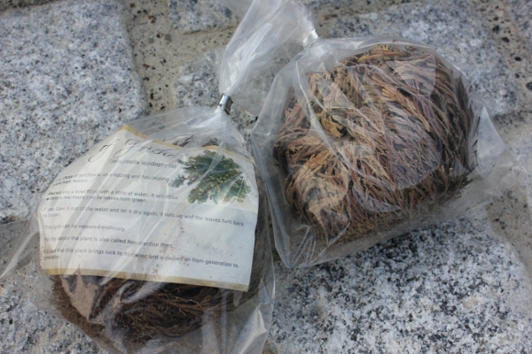 Rose of Jericho in transparent bag
