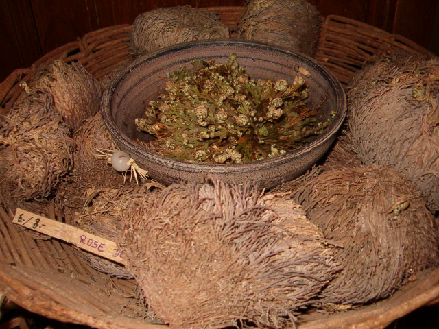 Rose of Jericho (selaginella lepidophylla) plants in a store