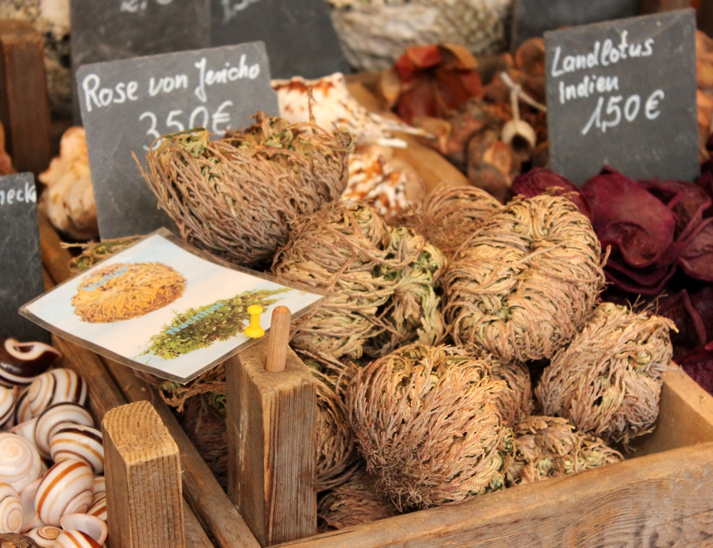 Rose of Jericho plants being sold at a market fair