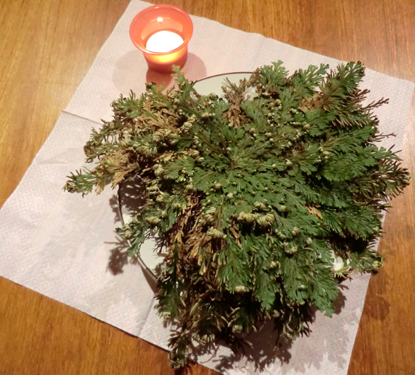 Selaginella lepidophylla Plant with Candle Prayer Ritual